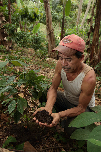 Juan Alberto Rivas applies organic fertilizer to his coffee plants.  Tuma La Dalia, Matagalpa, Nicaragua.  Photo by Oscar Leiva / Silverlight