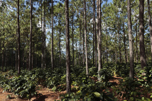 Shade grown coffee in pine forests, an example of an agorforestry system, in Agua Amarilla Microwatershed, Opalaca Reserve in San Juan Intibucá, Honduras