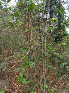 Coffee farm in dire need of renovation