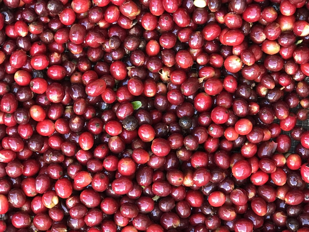 Cherries Sorted for Drying - Finca San Rafael (Photo by CRS/Hicks 2017)