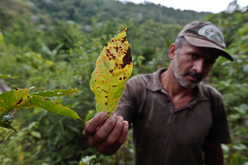 COFFEE LEAF RUST REARS ITS UGLY HEAD AGAIN