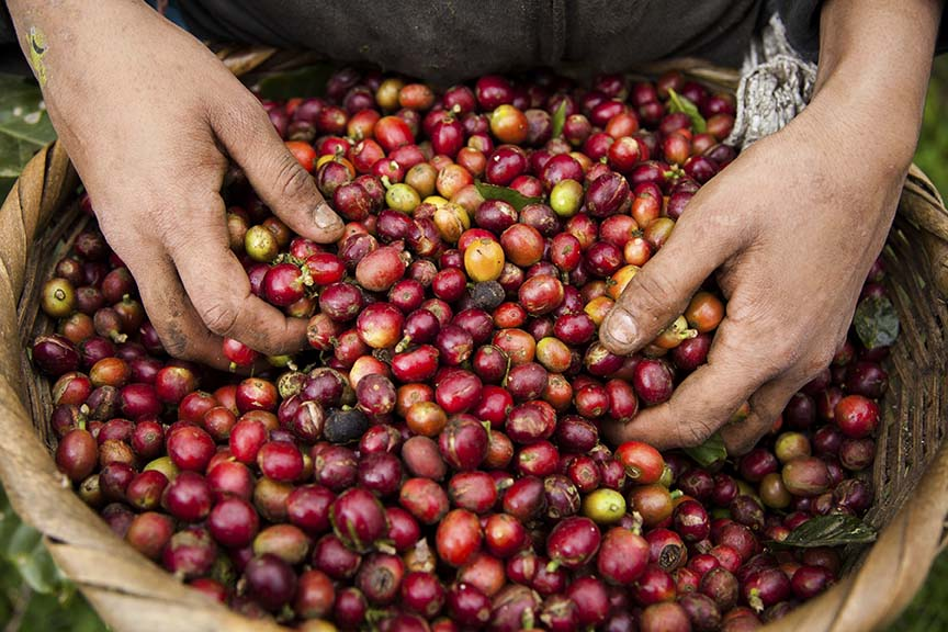 Innovative Models at Origin: Can selling coffee in cherry be profitable?